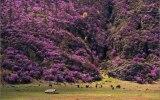 Сиреневые горы (цветение маральника)
