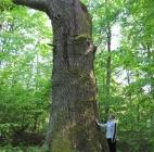 Царь — дуб Припятского Полесья