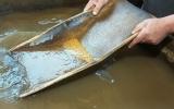 аллювиальные следы золота в лотке старателя